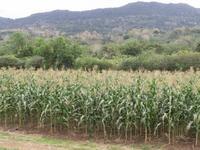 Maïs production de semences CIRAD412 © Jacques Dintinger, Cirad